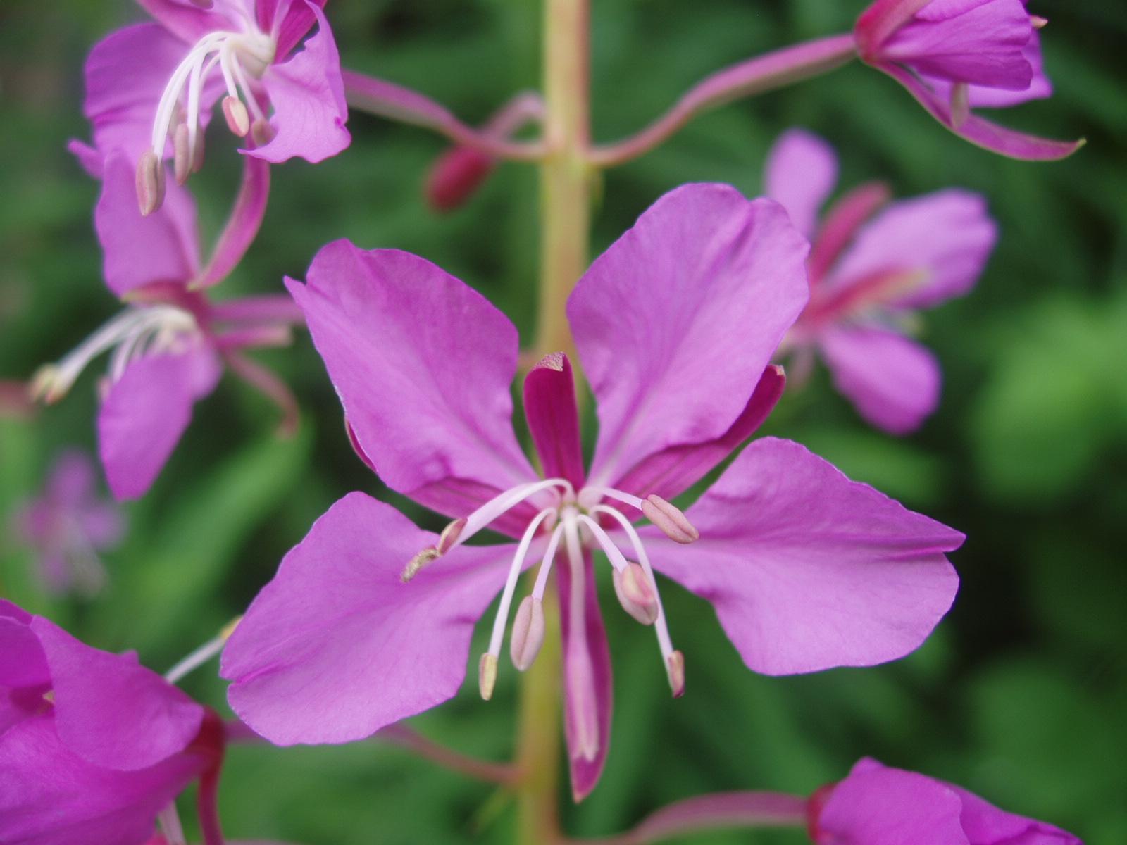 Fiori 4 Petali.Flora Uniud Epilobium Angustifolium L Fiore