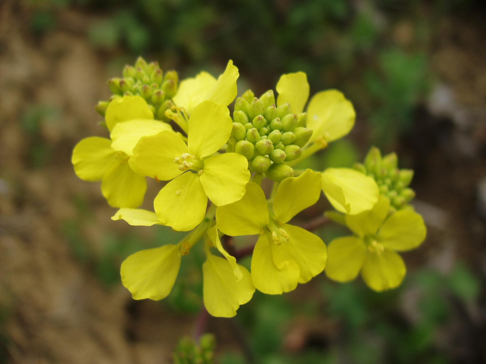Fiore Giallo Quattro Petali.Flora Uniud Sinapis Arvensis L Fiore