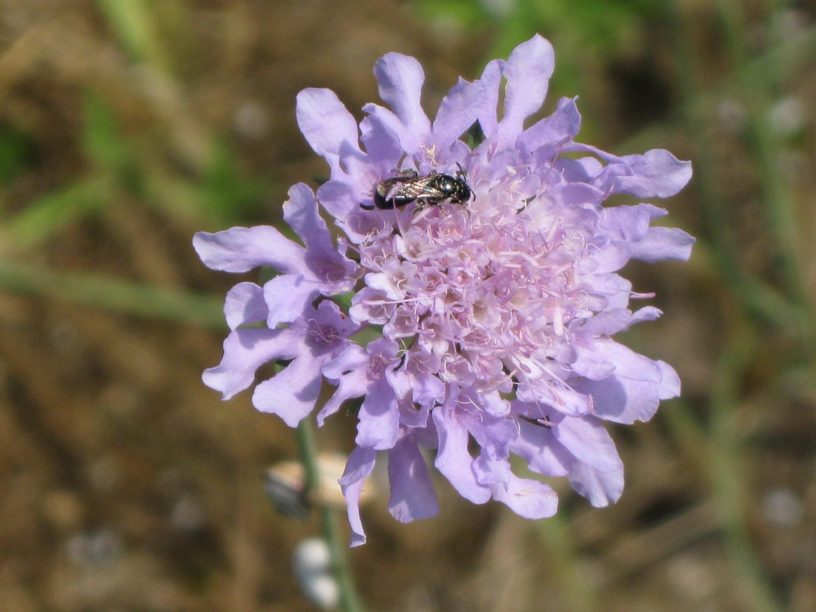 Fiori Zigomorfi.Flora Uniud Lomelosia Argentea L Greuter Burnet Fiore